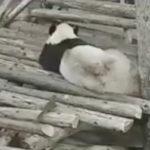 くつろいでるパンダに背後からリスが襲撃しパンダ驚く #パンダ