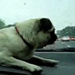 パグvsバンパー #犬動画