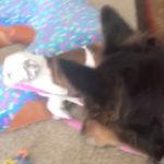 何倍も体の大きい大型犬のリードを引っ張り散歩に連れ出す小型犬 #犬動画