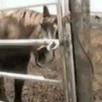 口先で器用に柵を開ける馬