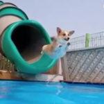 夏だぜひゃっほー #コーギー #犬動画