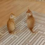 浴びせ倒し1本! #猫動画