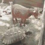 亀ルンバに乗るヤギ #亀動画 #ヤギ #ルンバ