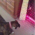 レーザーポイント多すぎて固まる #犬動画