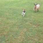 飛び跳ねて遊ぶヤギのような動きをする犬 #犬動画