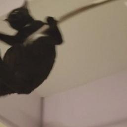 シャワーカーテンをアクロバティックな綱渡りをする黒猫