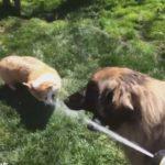 水を一人占めしないよう気を使う大型犬。 気を使われてることに全く気づかず水に夢中なコーギー