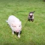 豚にリードを持ってもらい散歩する猫 #猫動画 #豚動画
