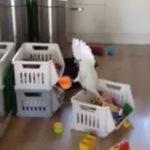 赤ちゃんの鳴き声を真似るオウム #オウム