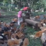 蔵王キツネ村のキツネの食事風景。大量キツネで壮観です。#キツネ #キツネ村 #蔵王キツネ
