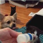 ミルクを飲む子猫、それを欲しがるチワワ、黙って見ている黒猫  #犬猫 #犬猫動画