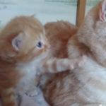 お父さん、お父さん?なんだい? #スコティッシュフォールド #cat #catlovers #kitten #猫