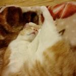 かわい~く寝て…ない!!! #ねこ #ペット #cats 猫動画
