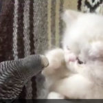 こねこ「なにこれ?!さわらにゃいでー!」猫 インコ 動画
