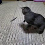 ただの羽なのにテンションマックスでまるで羽が生きてるかのように演出する猫