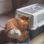 ちょっと大きすぎるんじゃない? 熊のぬいぐるみを強引にキャリーケージへ引っ張りこむわんこ。 #犬動画