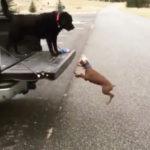 イメージトレーニングは十分だったのに 荷台に乗ろうとして失敗する犬 #犬動画