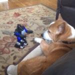 コーギーの正拳突き #犬動画