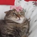 ハイテンションな女性に花びらのようなものを頭に乗せられた猫の反応 猫「にゃんじゃーこれは!!」