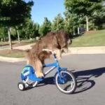 人間が乗ってるかのように器用に自転車を漕ぐわんこ #犬動画