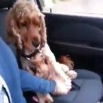 手握って~ 運転中なのに手を握るようせがむ犬 動画