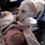 犬「風邪引くよ。」 赤ちゃんに毛布を掛けるやさしいラブラドール
