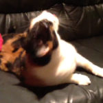 猫ちゃんどうした? しゃべるように変な鳴き声をするにゃんこ #猫動画