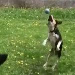 「よしボール取るぞジャンプ!!ちょw何してんの?ww」犬動画