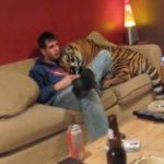 人懐っこいトラ 虎動画