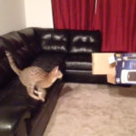 飼い主さんが持った箱に飛び入ろうとしますが失敗。 #猫動画