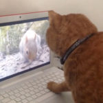 「裏に隠れたにゃー」。液晶画面の裏にリスがいないか確認する猫 #猫動画