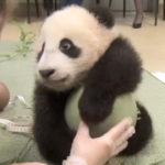 パンダ「ボール絶対離さないもん!」