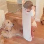 ラブラドールに毛布を掛けてあげる子供 犬動画