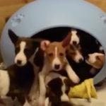 笛を吹くとペットハウスから大量に出てくる子犬 #犬動画