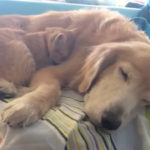 ふわふわ犬をベッド代わりに寝る猫
