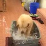 レトリバーの水遊びで床びちょびちょ