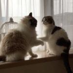 日本一優しいケンカ(笑)ネコ動画