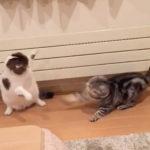 超高速連続空振り猫パンチ 猫動画